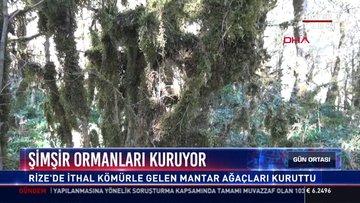Şimşir ormanları kuruyor: Sibirya'dan gelen mantar şimşir ağaçlarını hasta etti