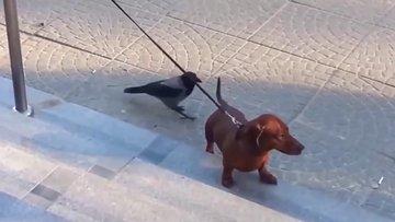 Köpeği çileden çıkaran Karga...