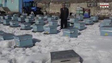 'Kafkas arısı' kara kışı kar altında geçiriyor