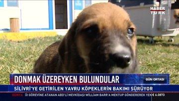 Donmak üzereyken bulundular: Silivri'ye getirilen yavru köpeklerin bakımı sürüyor