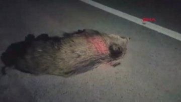 Kırıkkale'de yola inen domuz sürüsü, kazaya neden oldu