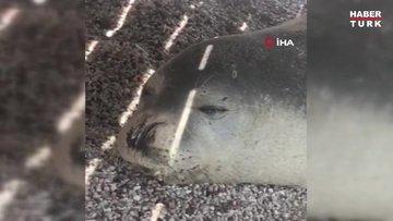 Nadir görülen beyaz fok balığı, Bodrum koylarını mesken tuttu