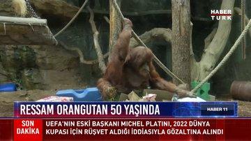 Ressam orangutan 50 yaşında