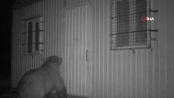 Balın kokusunu alan ayı kapıyı açmak için böyle uğraştı