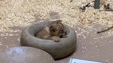 Aslanın yavrusuyla ilk karşılaşma anı interneti salladı!