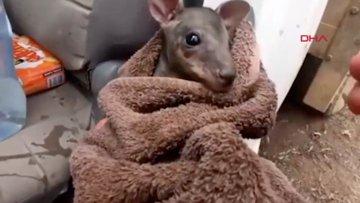 Avustralya yangın alanında yavru kanguru, yangından böyle kurtarıldı