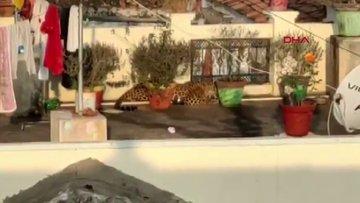 Hindistan'da bir evin çatısında uyuyan leopar yakalandı