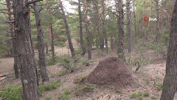 Görünce gözlerine inanamadılar...İnsan boyundaki karınca öbeği doğal yöntemler kullanılarak koruma altına alındı