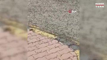 Umman'da karınca istilası! Çekirge istilasından sonra karınca istilası başladı