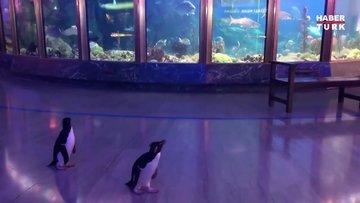 Koronavirüs nedeniyle kapatılan akvaryumda penguenler geziniyor!