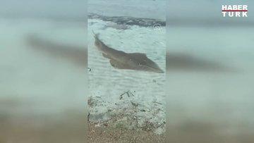 """Yaklaşık 2 metre uzunluğunda """"kemane"""" balığı görüntülendi"""