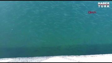 Binlerce balık kıyıya geldi