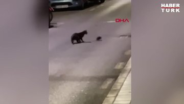 İspanya sokaklarında kedi ile farenin kavgası kamerada