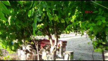 Gövdesinde meyve veren ağaç şaşırttı