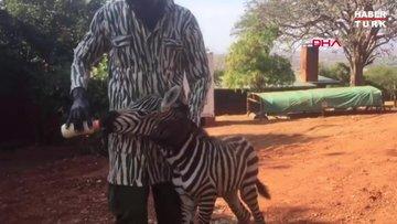 Kenya'da öksüz kalan zebraya zebra kıyafetli görevliler bakıyor