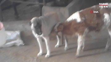 Danayı emziren kangal köpeği görenleri şaşırtıyor