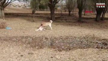 Yozgat'ta köpek dövüşü organize eden 8 kişi yakalandı