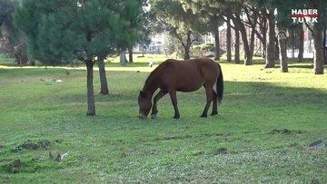 Yabani yılkı atları, şehre indi