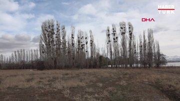 Profesörden 'karga istilası' açıklaması: Güvenlik için kavak ağacına gelirler