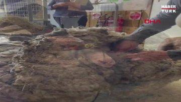 Avustralya'da bir koyundan 35 kilo yün çıktı