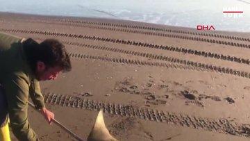 Kıyıya vuran 'mandabaş vatozu' denize bırakılarak, hayata döndürüldü