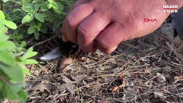 Kuzugöbeği mantarının tazesi kilosu 250, kurusu ise bin liradan alıcı buluyor