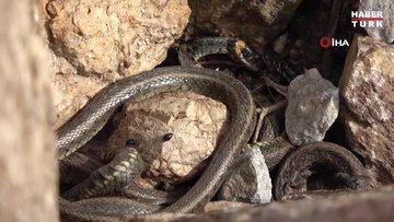 Yüksekova'da sürü halinde güneşlenen yılanlar Brezilya'nın 'Yılan Adası'nı andırıyor