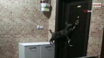 Kedi daireye girebilmek için kapının tokmağını defalarca kez çaldı...Gülümseten anlar kamerada