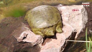 Beylikdüzü´nde nesli tükenmek üzere olan Fırat Kaplumbağası bulundu