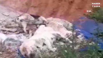 Köpek ve kedilerin mavi tavukla zehirlediği iddiası