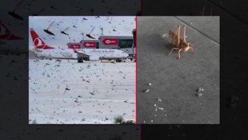 İstanbul Havalimanı'nda çekirge istilası