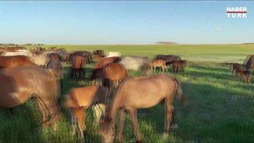 Köyün at sürüsünü tek başına yönetiyor