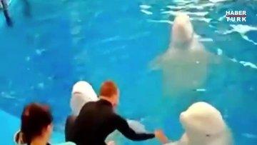 Rusya'da iki balina eğitmen tarafından saldırıya uğradı!